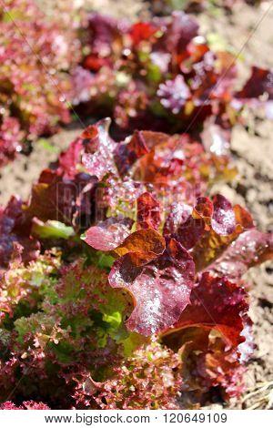 Brown Leaves Of Useful Lettuce