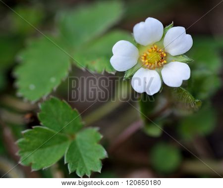 Barren strawberry (Potentilla sterilis)