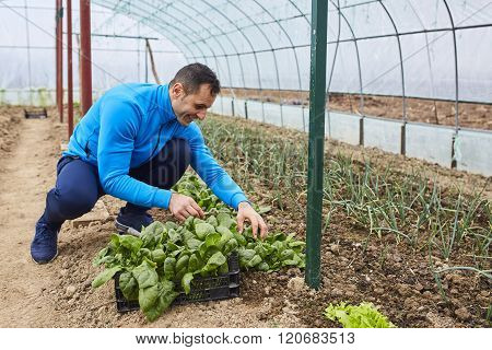 Farmer Harvesting Spinach