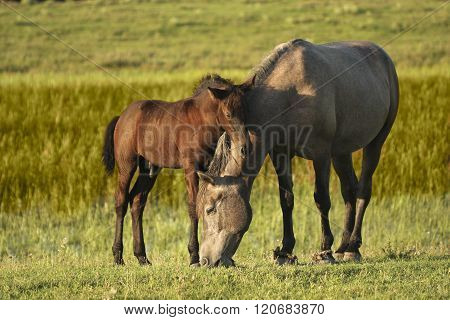 Two Horses, Brown Foal And Mother