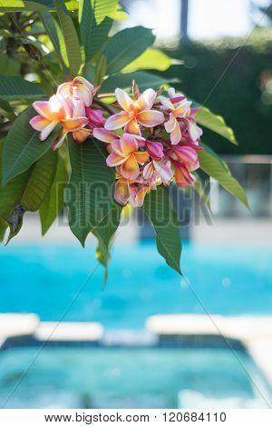 Frangipani Flowers On The Tree With Pool