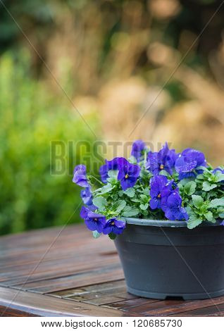 Purple Violets On A Wet Garden Table
