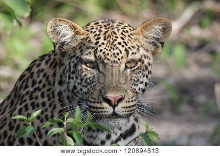 Leopard In Nature Africa