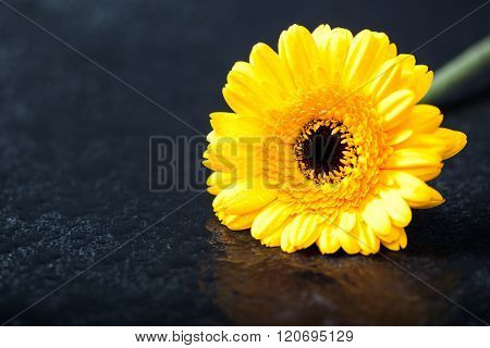 Yellow Gerbera Daisy, , Low Key On Black