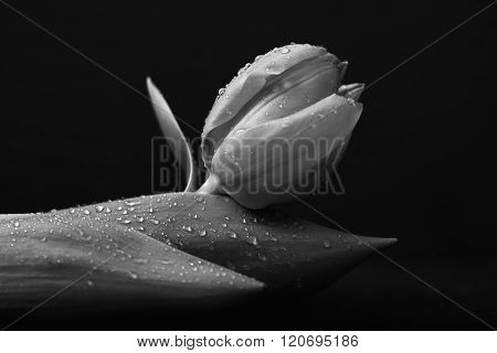 Tulip With Water Drops, Monochrome Converted