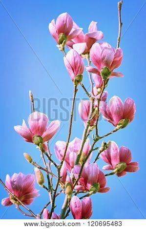 Magnolia Flowers Against The Sky