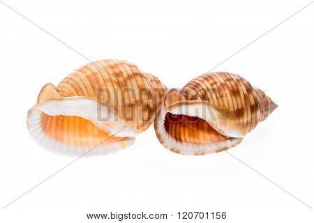 Two Helmet Sea Shells - Galeodea Echinophora. Empty House Of Sea Snail.