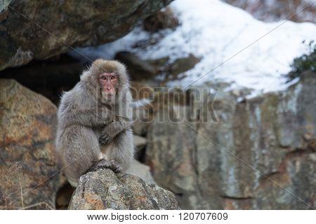 Monkey at winter