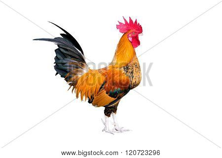 Chicken Bantam ,rooster Crowing Isolated On White (die Cutting)