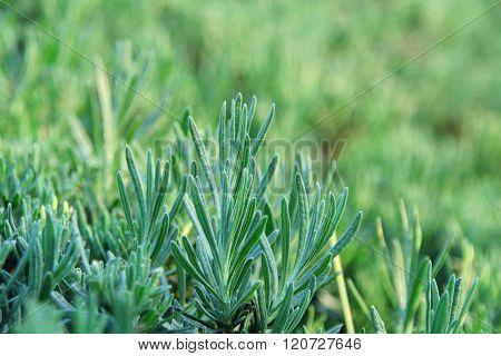 Close Up Of Lavender Plant