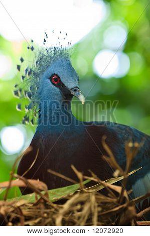 Crested Pigeon Bird Sitting On Her Nest