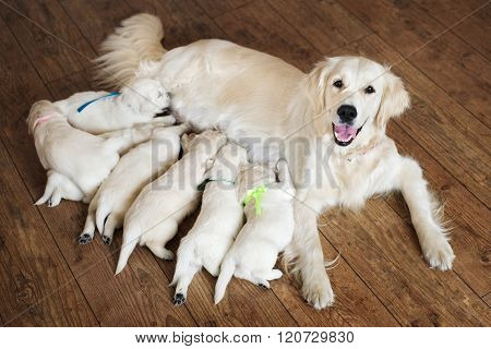 happy dog feeding puppies