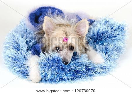 Cute Chinese Crested Dog