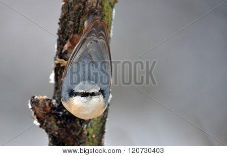 Nuthatch (sitta Europaea)