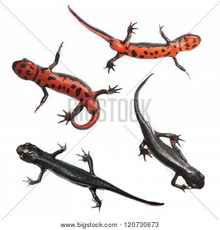 Japanese fire belly newt isolated on white