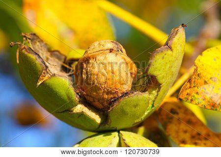 Walnut In Shell Burst