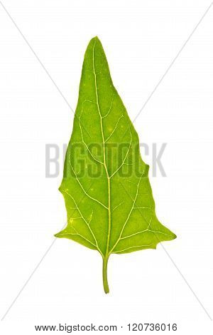 Green leaf of Saltbush isolated on white