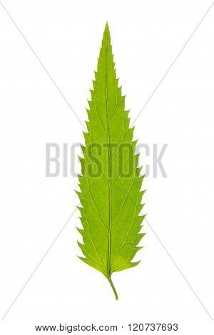 Green leaf of Longleaf Speedwell isolated on white