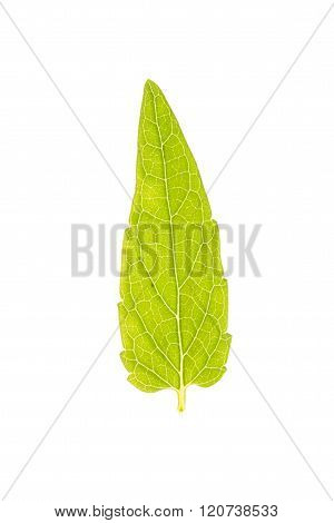 Green leaf of Common Skullcap isolated on white