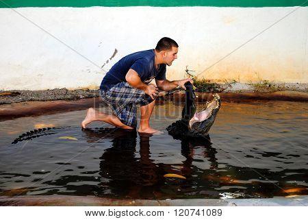 American alligator wrestling in the Everglades National Park
