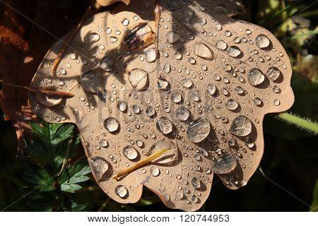 Dewdrops On Autumn Leaf