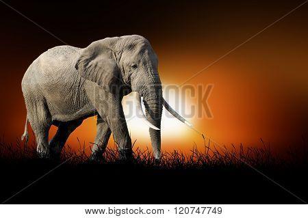 Elephant On The Background Of Sunset