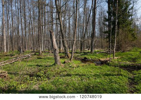 Riparian Stand Of Bialowieza Forest Along Stream
