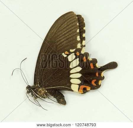 A Male Common Mormon Butterfly