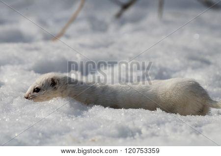 Least Weasel (Mustela nivalis) in snow against the sun poster