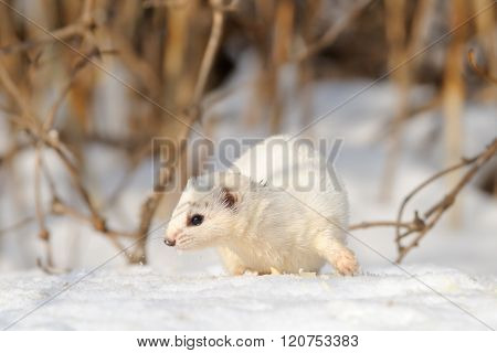 Least Weasel (Mustela nivalis) move in the bushes poster