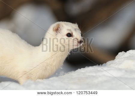 Snowy Portrait Of Least Weasel In Winter