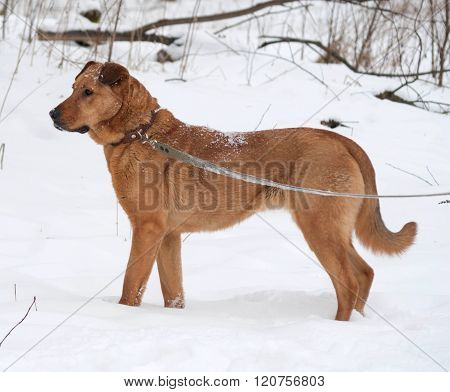Red Big Mongrel Dog Is On Leash On Snow