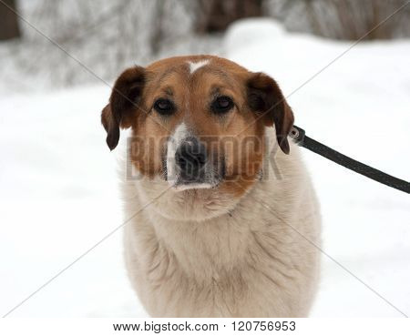 Red And White Mongrel Dog Standing On Snow