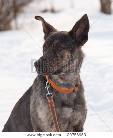 Grey And Brown Young Mongrel Dog On Snow