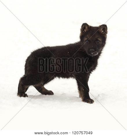 Black German Shepherd Puppy Standing In Snow