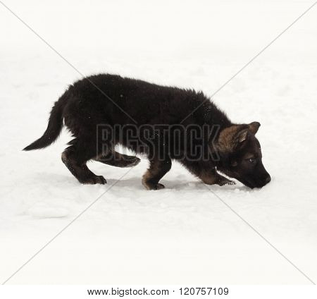 Black German Shepherd Puppy Going In Snow