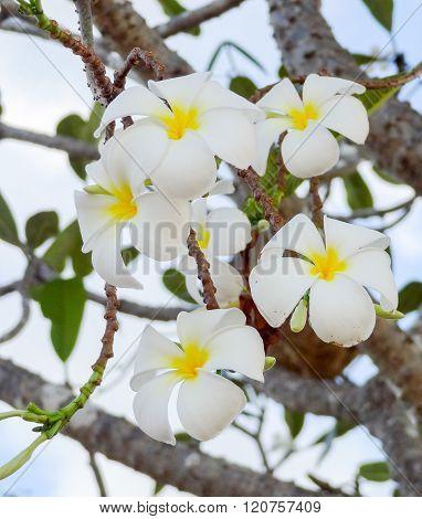 White Plumeria Blossoms