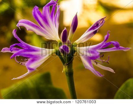 Agapanto Lilás - Agapanthus