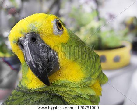 Brazilian Green Parrot - Papagaio Verde e amarelo do Brasil poster