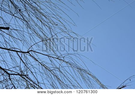 Willow Tree Branch In The Spring