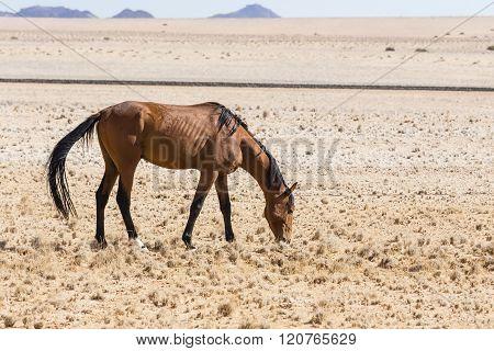 Namib Desert Horse, Namibia
