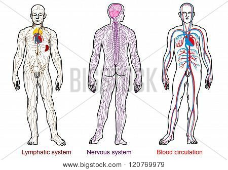 human anatomy nervous,blood,lymphatic system