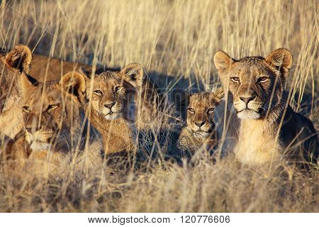 Pride Of Lions Resting At Etosha National Park Namibia Africa