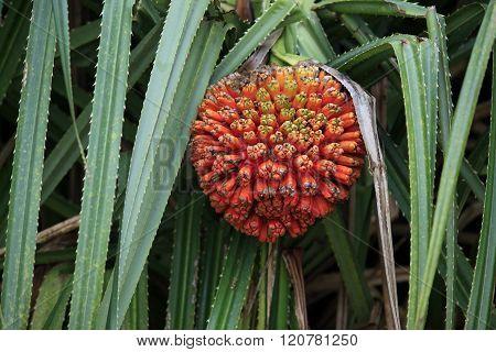 Hala Fruit (pandanus Tectorius)