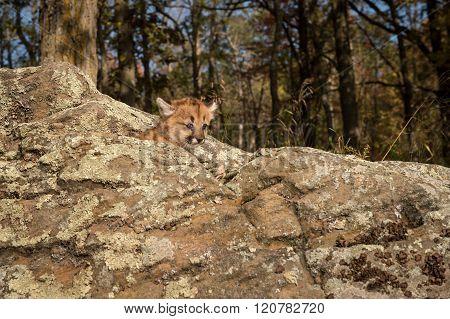 Female Cougar Kitten (puma Concolor) Atop Rocks