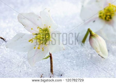 Hellebore flower in snow