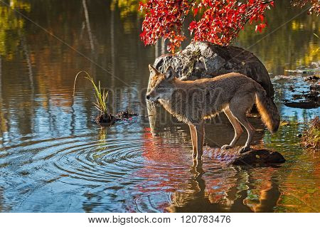 Coyote (canis Latrans) Stands With Front Feet In Water