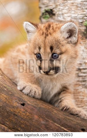 Female Cougar Kitten (puma Concolor) Looks Out From Tree