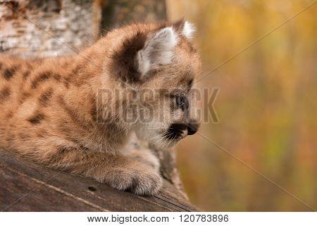 Female Cougar Kitten (puma Concolor) Profile