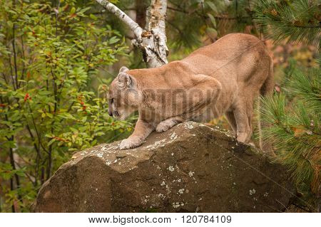 Adult Male Cougar (puma Concolor) On Rock